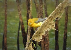 Second-to-Life Bird: Prothonotary Warbler (Ruby 2417) Tags: bird wildlife nature lifer life warbler yellow galveston laffittes cove preserve texas marsh reeds