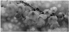 MAY 2019 NGM_1325_7931-1-2-222 (Nick and Karen Munroe) Tags: cherry cherryblossoms cherrytree cherryblossom blossoms bloom blooms blooming flowers flower flowering flowertown trees tree bokeh creamy macro closeup upclose karenick23 karenick karenandnickmunroe karenandnick munroe karenmunroe karen nickandkaren nickandkarenmunroe nick nickmunroe munroenick munroedesigns photography munroephotoghrpahy munroedesignsphotography nature landscape brampton bramptonontario ontario ontariocanada outdoors canada d750 nikond750 nikon nikon2470f28 2470 2470f28 nikon2470 nikonf28 f28 blackandwhite bw blackwhite bandw monochrome mono 16x9 169 joycearchdekinpark