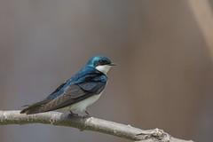 Hirondelle Bicolore / Tree Swallow (ALLAN .JR) Tags: hirondelle tree sparrow ilestbernard hirondellebicolore bird oiseau nature wildlife nikon