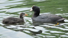 Mother Coot And Youngster (earlyalan90 away awhile) Tags: mother coot youngster juvenile lake water waterfowl wildfowl nikon d700 zoom lens wetlands washington ww wwt uk tyne wear nature wildlife photography birding avian ornithology feathers plumage cute