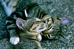 DSC_3219 (Kyp-chan) Tags: animal thailand bangkok lumpinipark สวนลุมพินี cat กรุงเทพมหานคร บางกอก travel voyage