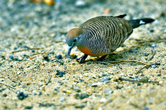 DSC_3161 (Kyp-chan) Tags: animal thailand bangkok lumpinipark สวนลุมพินี bird กรุงเทพมหานคร บางกอก travel voyage