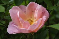 Pink Rose (Modkuse) Tags: rose flower nature natural insect art artphotography artistic photoart fineartphotography fineart macro macrophotography macrolens macroflower 80mm 80mmmacro xf80mmf28rlmoiswrmacro fujinonxf80mmf28rlmoiswrmacro fujifilm fujifilmxt2 xt2 fujinon nopostprocessing