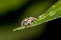 IMG_4936-tr (JLBenazra) Tags: bali201905 bali insectes proxy macro araignées spider