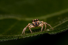 IMG_4934-tr (JLBenazra) Tags: bali201905 bali insectes proxy macro araignées spider