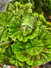 green in green (ingcuevas) Tags: green beautiful insec bug cute planta hojas life small macro macrofotografia nature naturaleza natural garden color acercamiento bright sparkly shiny