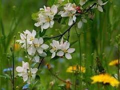 White, green and yellow (Kaska Ppp) Tags: jabłoń wiosna kwitnienie sad bloom flowers green white