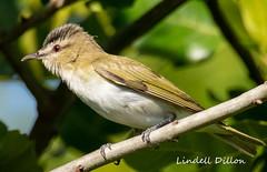 Red-eyed Vireo (Lindell Dillon) Tags: redeyedvireo neotropical birds birding nature oklahoma crosstimbers