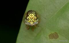 Tortoise Beetle, Microctenochira reticularis, Cassidinae (Ecuador Megadiverso) Tags: andreaskay beetle cassidinae chrysomelidae citynaturechallenge coleoptera ecuador microctenochirareticularis tena tortoisebeetle
