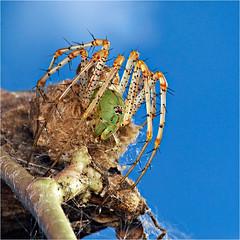Green Lynx Spider guarding her eggs (Small Creatures) Tags: d60 greenlynx nikond60 youngcounty texas proffitt macro nikkorh85mm spider rural arachnid peucetiaviridans