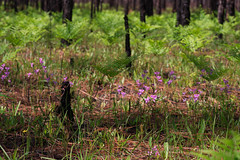 Calopogon multiflorus (Many-flowered Grass Pink orchid) (jimf_29605) Tags: calopogonmultiflorus manyfloweredgrasspinkorchid francismarionnationalforest charlestoncounty southcarolina wildflowers orchids sony a7rii 90mm