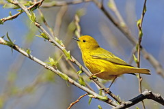 Paruline jaune / Yellow Warbler (alainmaire71) Tags: oiseau bird jaune yellow parulidae parulidés dendroicapetechia parulinejaune yellowwarbler nature québec canada parulien warbler