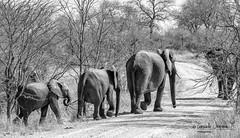En camino (Consuelo Vergara Mendez) Tags: elephant elefante kruger africa