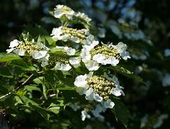 Gewöhnlicher Schneeball (KaAuenwasser) Tags: viburnumopulus gewöhnlicherschneeball gehölz strauch busch wald wiese feld feldrand hecke grün blüte blüten natur