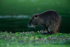Nutria in the Evening (mozdeco) Tags: nutria animal wildlife water