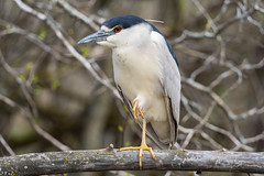80183 - Bihoreau Gris - Black-Crowned Night-Heron (xVanHovenx) Tags: bihoreau nightheron bihoreaugris blackcrownednightheron nature animal arbre forêt bois tree forest wood sonya7iii sigma150600mmcontemporary sigmamc11