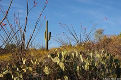 Desert Flora (walkerross42) Tags: desert flora cactus saguaro pricklypear ocotillo saguaronatioanlpark rincon arizona bloom wildflower sonorandesert spines