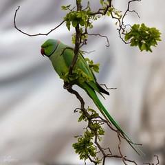 Parakeet (ivanstevensphotography) Tags: leaves parakeet garden tree branches nature birds