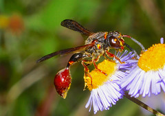 thin waisted wasp (donjuanmon) Tags: donjuanmon nikon nature macro wasp pollen yellow black red green