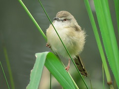 Cisticola / Tinktinkie (Pixi2011) Tags: birds nature southafrica africa