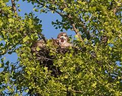 Yawn! (Goggla) Tags: rth hawk chick nyc new york manhattan east village tompkins square park urban wildlife bird raptor red tail adult female amelia baby nestling ginkgo nest 2019 goglog