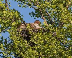 Mom and chick (Goggla) Tags: rth hawk chick nyc new york manhattan east village tompkins square park urban wildlife bird raptor red tail adult female amelia baby nestling ginkgo nest 2019 goglog