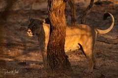 Lioness in the Shadows (iamfisheye) Tags: 300mm nikon naturetrek d500 xqd pantheraleoleo sassangir vr f4 india asiaticlion gujarat february afs tc14iii 2019 raremammalsandbirdsofgujarat pf