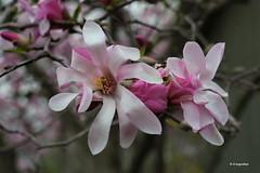 La magia delle magnolie in fiore - Les Magnolias sont en fleurs (hmeyvalian) Tags: plantae angiosperms magnoliids magnoliales magnoliaceae magnolia jardinbotanique montréal montrealbotanicalgarden québeccanada