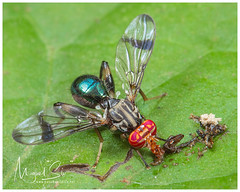 Fly / Mosca (Panama Birds & Wildlife Photos) Tags: macro macrophotography wildlife wildlifephotography wild wildanimal wildlifephotographer animal insect insects insecto insectos bugs bug