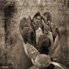 Once Upon A Dream (MBates Foto) Tags: availablelight blackandwhite bokeh botanicals daylight existinglight flora floral flower garden inspiration inspirational inspire horticulture macro monochrome nikkorlens nikon nikonais nikond810 nikonfx outdoors petals plants sepia textures spokane washington unitedstates