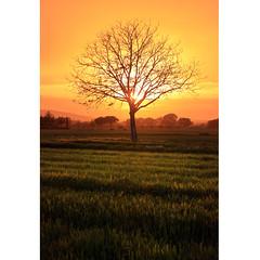 Can't stop it (Robyn Hooz) Tags: umbria spello passione sole sunset albero tree branches grano wheat romance passion