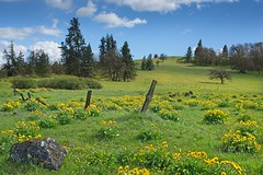 Wildflowers Old Fence 4164 A (jim.choate59) Tags: jchoate on1pics wildflowers balsamroot field fence decay old hills mosieroregon landscape oldhighway30 historichighway30 rural springtime flowers fencepost barbedwire cheerful wascocounty columbiarivergorge d610 hff