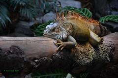 Iguane vert - Iguana Iguana (Annelise LE BIAN) Tags: animaux pzp zoo iguane alittlebeauty coth coth5 sunshine damn