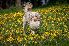 'My Ball' ! (DP the snapper) Tags: turbo buttercups horsefield dog cockerpoo animals turboball