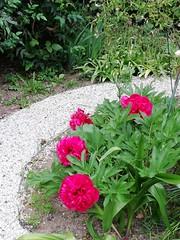 Farbe an einem grauen Freitag... (flixx-ak) Tags: flixxak offenbachammain hessen city natur nature pflanzen plant 2019 img20190516200534