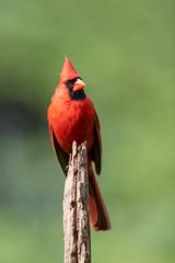 Redbird (Neal Lewis) Tags: northerncardinal malenortherncardinal cardinal bird songbird