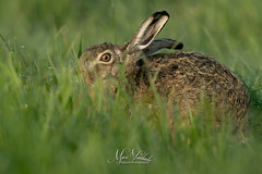 Hare or Hair? (fire111) Tags: hare haas mammal gras wildlife wild photographing