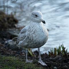 Super Gull (MrBlueSky*) Tags: seagull bird animal nature colour water outdoor kewgardens royalbotanicgardens london pentax pentaxart pentaxlife pentaxawards pentaxflickraward pentaxk1mkii aficionados