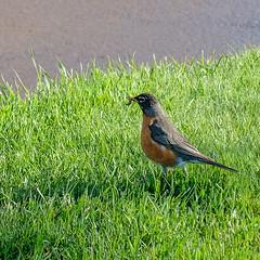 Bird and the Worm, Duluth Rose Garden 5/16/19 (Sharon Mollerus) Tags: duluth mn cfptig19