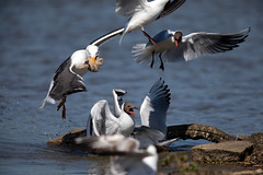 Predation (Whistling Joe) Tags: rspb minsmere whistlingjoe canoneos5dmkiv canonef600mmf4lismkiiusm canonefextender14xiii lesser black backed headed gull predation