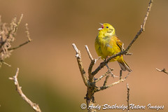Yellowhammer Song (www.andystuthridgenatureimages.co.uk) Tags: yellowhammer male dartmoor national park singing song gorse moor moorland morning light spring bunting bird canon wildlife