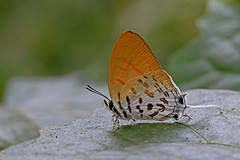 Drupadia ravindra - the Common Posy (BugsAlive) Tags: butterfly mariposa papillon farfalla 蝴蝶 dagvlinder 自然 schmetterling бабочка conbướm ผีเสื้อ animal outdoor insects insect lepidoptera macro nature lycaenidae drupadiaravindra commonposy theclinae wildlife doisutheppuinp chiangmai ผีเสื้อในประเทศไทย liveinsects thailand thailandbutterflies nikon105mm bugsalive ผีเสื้อแต้มแสดธรรมดา​