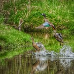 Blue Winged Teals thumbnail