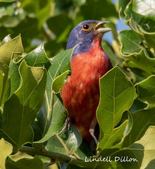 Painted Bunting (Lindell Dillon) Tags: paintedbunting neotropical birds birding nature oklahoma crosstimbers wildoklahoma