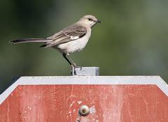 mockingbird on stop sign (watts photos1) Tags: mockingbird stop sign bird birds signs red nature wild life