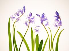 Hyacinthoides hispanica (de_frakke) Tags: flower blue hyacynthoides bloemen