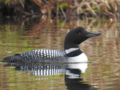 Common Loon On Wilson Pond, North Monmouth 4 (RonG58) Tags: commonloon loon wilsonpond northmonmouth greatnortherndiver gaviaimmer waterbirds bird birds loiseau elpájaro tori dervogel birding birdwalk fauna flora habitat migration natureexploration wildlife breedingplumage maine rong58 new usa images spring pictures photooftheday day image color photography photo photos us light trip nikon picture digitalcamera picoftheday photograph live geotagged nature naturephotography travel exploration