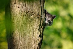The Weekend is Just Around the Corner (Eric Tischler) Tags: raccoon behind tree trunk green leaves woods wildlife