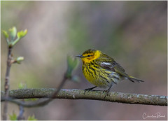 Cape May Warbler (Summerside90) Tags: birds birdwatcher warblers capemaywarbler may spring migration nature wildlife rondeauprovincialpark ontario canada