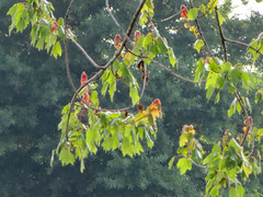 Leaves. (dccradio) Tags: lumberton nc northcarolina robesoncounty outdoor outdoors outside leaf leaves foliage greenery green branch branches treebranch treebranches tree trees canon powershot elph 520hs nature natural plant photooftheday photo365 project365 may friday fridaymorning morning goodmorning